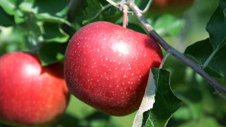 岩手県奥州市江刺りんご