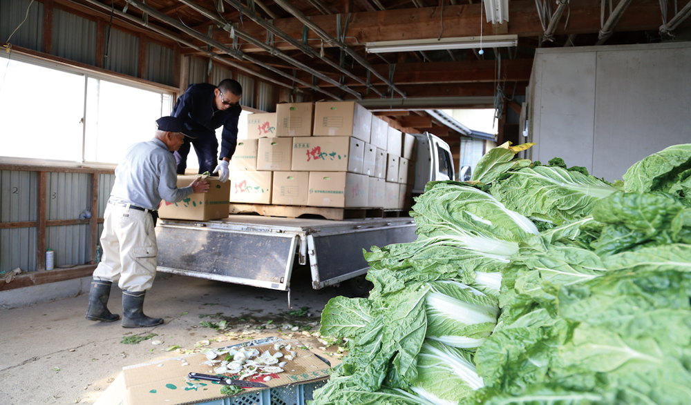 冬の白菜出荷の様子。トラック1台分の白菜もまだ全体のほんの一部。
