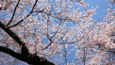 桜満開の水沢公園